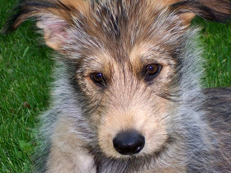 berger picard dog photo Berger Picard Photos