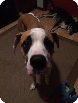 Fort Wayne In Boxer Great Dane Mix Meet Rigley A Dog For