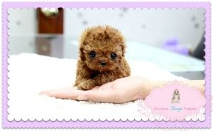 Houston Poodle puppies for sale, Red poodles, Cute funny