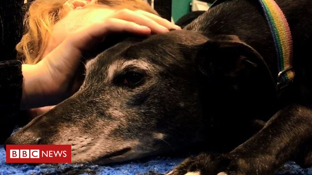 A Scheme Between Swansea University Students Union And A Dog Rescue Centre Is Aiming To Relieve Stress For Students Rescue Dogs Greyhound Rescue Dogs