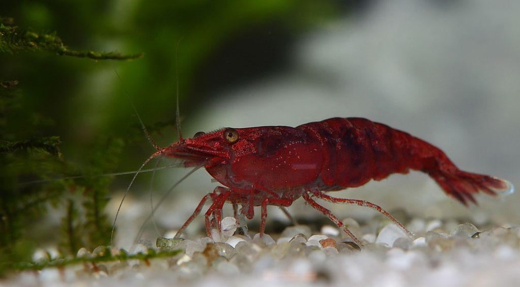 6bb2d6e61dd00fcbd1826fe40723884c - How To Get Rid Of Mosquito Larvae In Shrimp Tank
