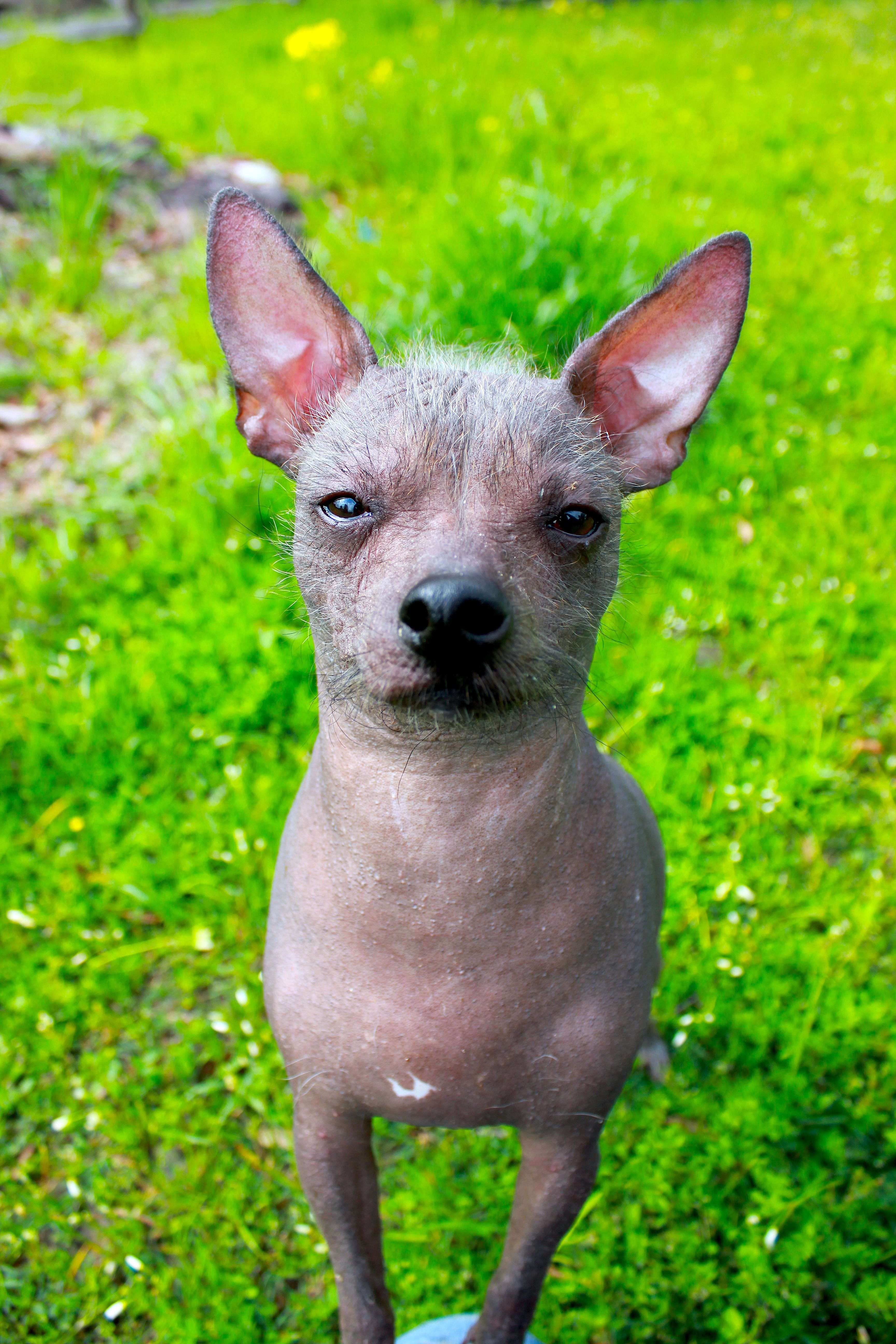 Mexican Hairless Chihuahua Goldenacresdogscom