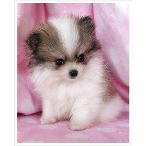 Beagle Puppy For Sale In Tucson Az Adn 70232 On Puppyfinder Com
