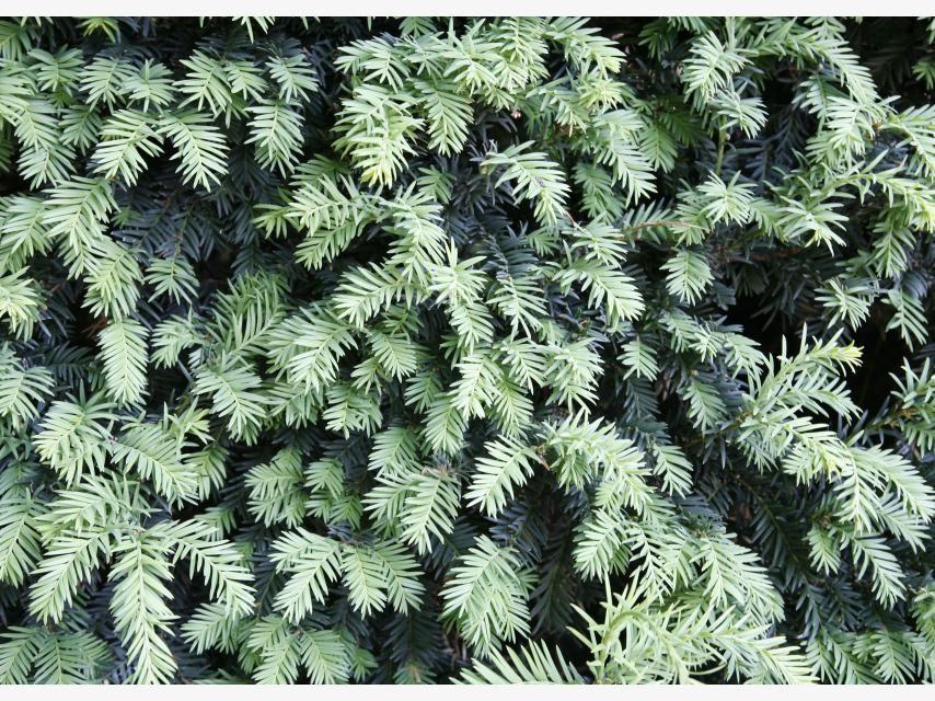 Sichtschutz Die 12 besten Heckenpflanzen Heckenpflanzen