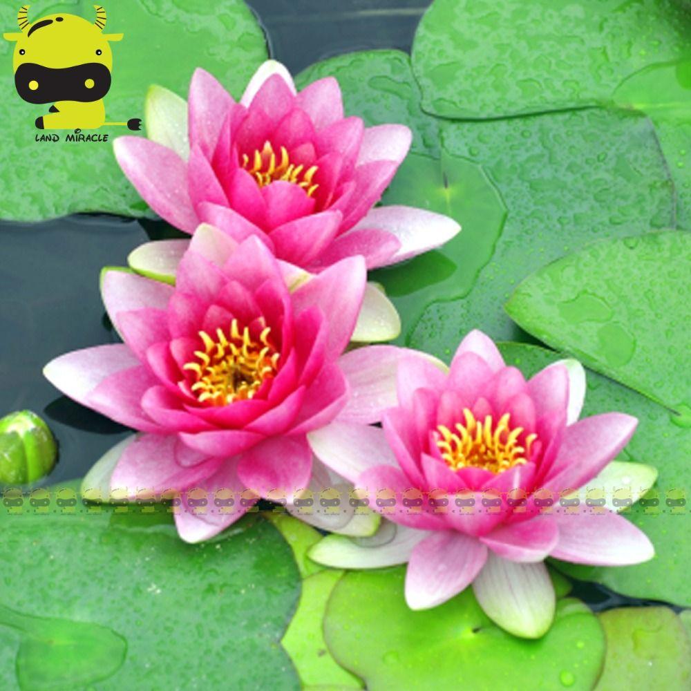 Striped Pink Jade Lotus Flower Seed 1 Seedpack Mini Water Lily