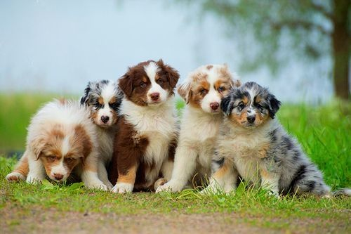 Australian Shepards Australian Shepherd Aussie Dogs Aussie Puppies