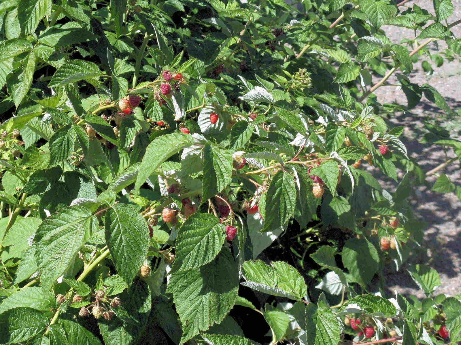 Raspberry, Heritage | Plant leaves, Plants, Garden