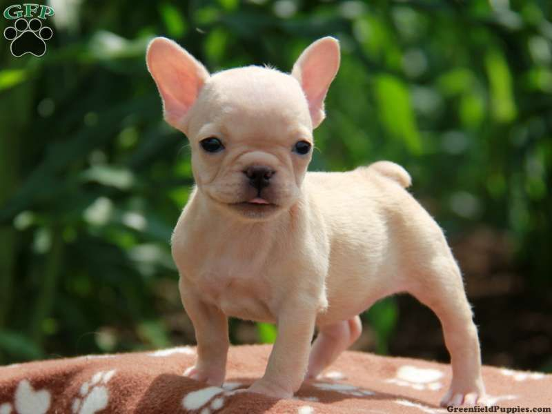 French Bulldog Puppy For Sale In Gap Pa Adn 34881 On Puppyfinder