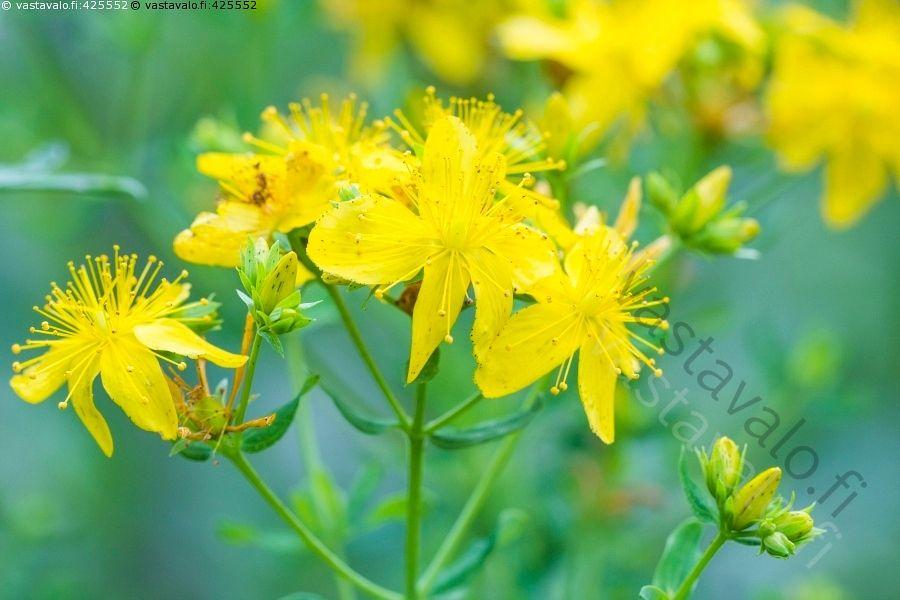 Mäkikuisma - Hyperiaceae Hypericum perfolatum kuisma kuismakasvit kukkia kukinto…