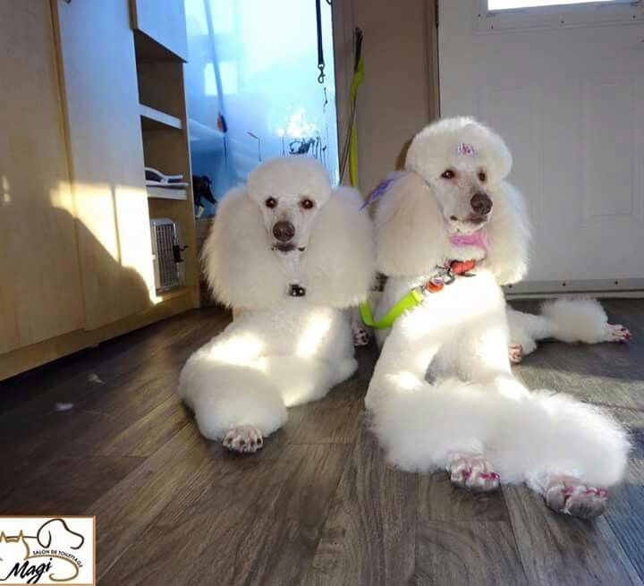 Pin by randi tarillion on Standard Poodles Poodle puppy