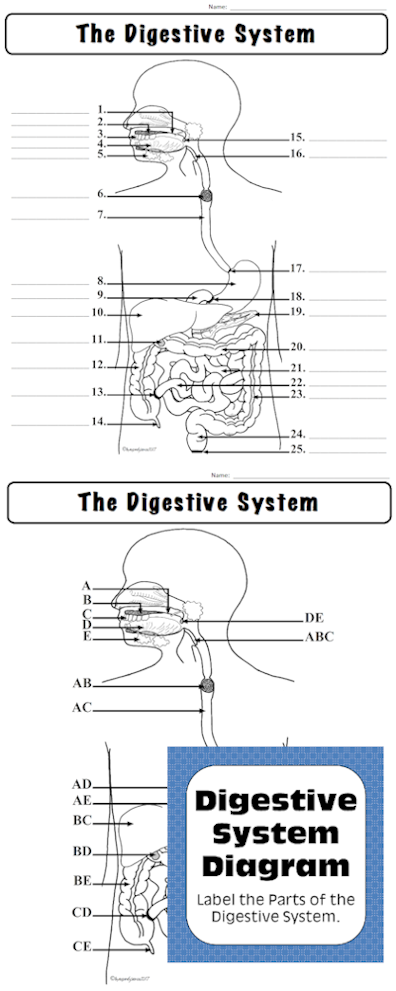 Biology Activities And Labs Digestive System Label The Parts Of