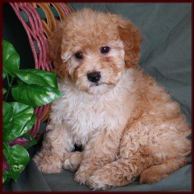 Bichon Poodle Janie Bisquit Bichon Frise Puppy Poodle Mix Dogs Puppies