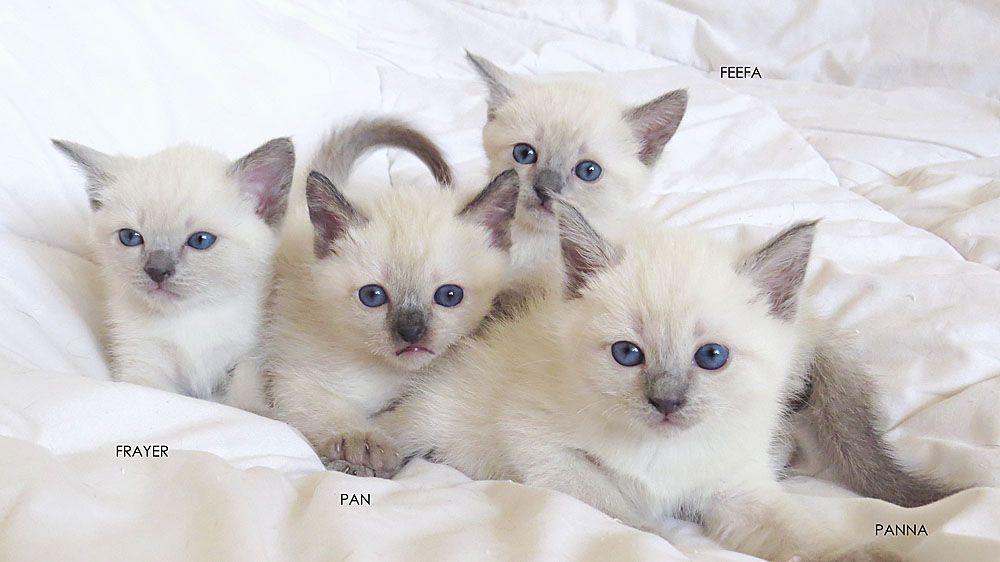 Tajskie Kotyata Iz Pitomnika Royal Simfoni Thai Kittens Of Royal