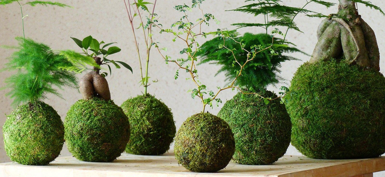 D couvrez le kokedama un art floral japonais original for Plante kokedama