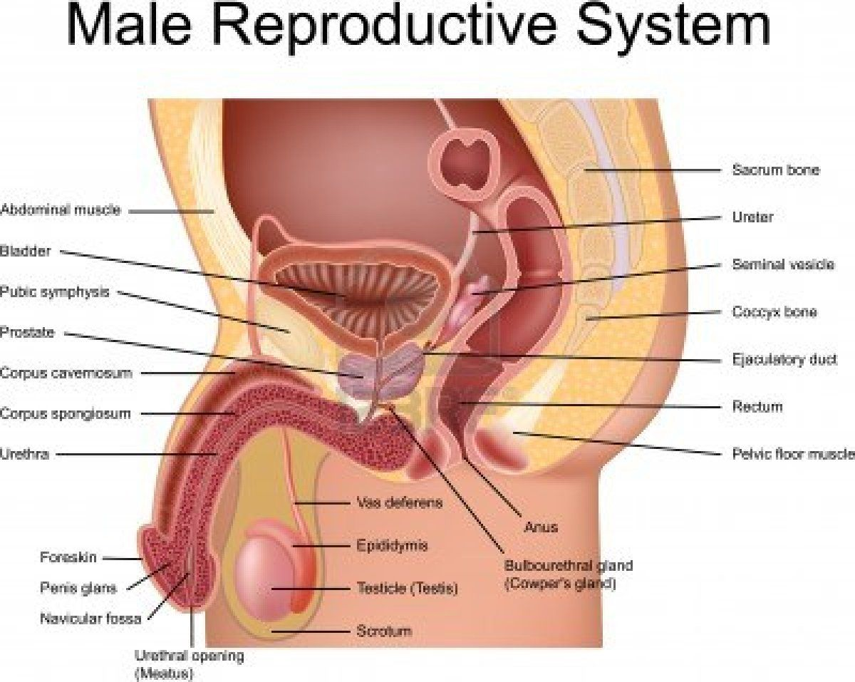 Best 25+ Reproductive system organs ideas on Pinterest