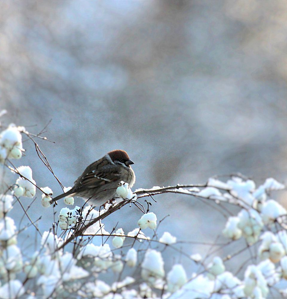 Tree Sparrow puff its feathers to furry in the winter day| yle.fi