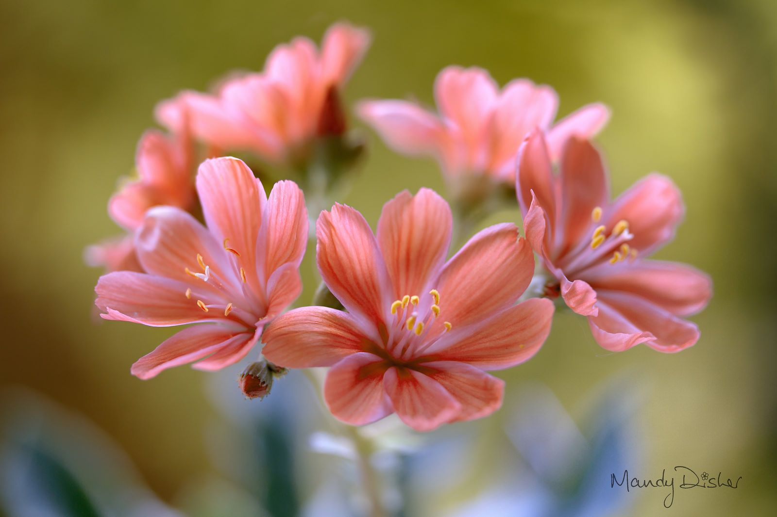 Lewisia | by Mandy Disher