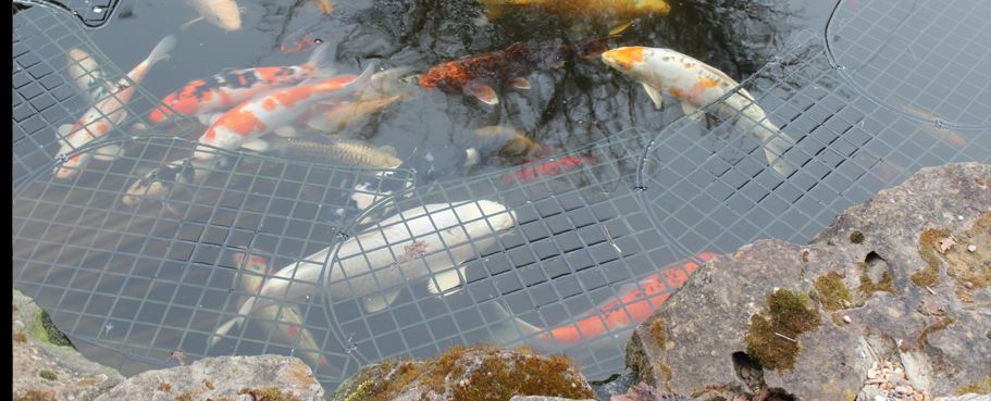 Heron solutions offer the best fish pond protector for Garden pond guards