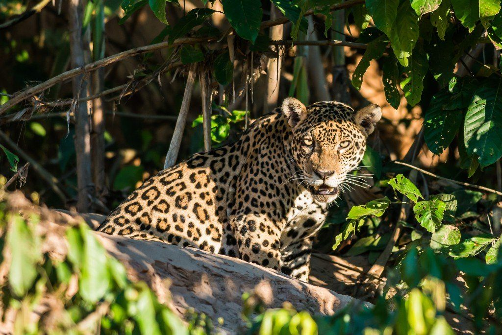 The Amazon Is The Most Biodiverse Terrestrial Place On The Planet Pantanal Animals Amazon Rainforest