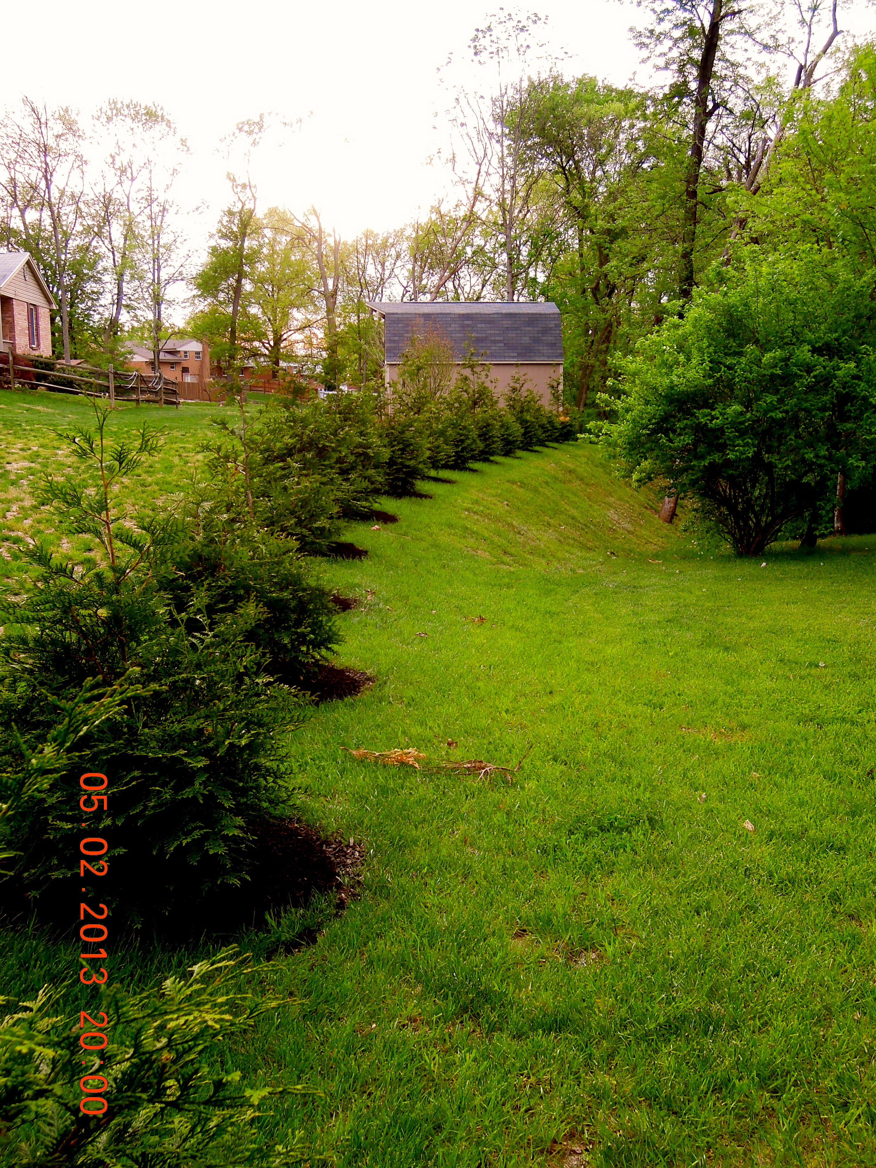 Giant Thunga Evergreen trees we planted for privacy   Privacy Fence ...
