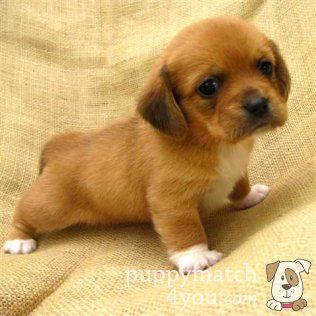 Peagle Puppy Cute Dogs