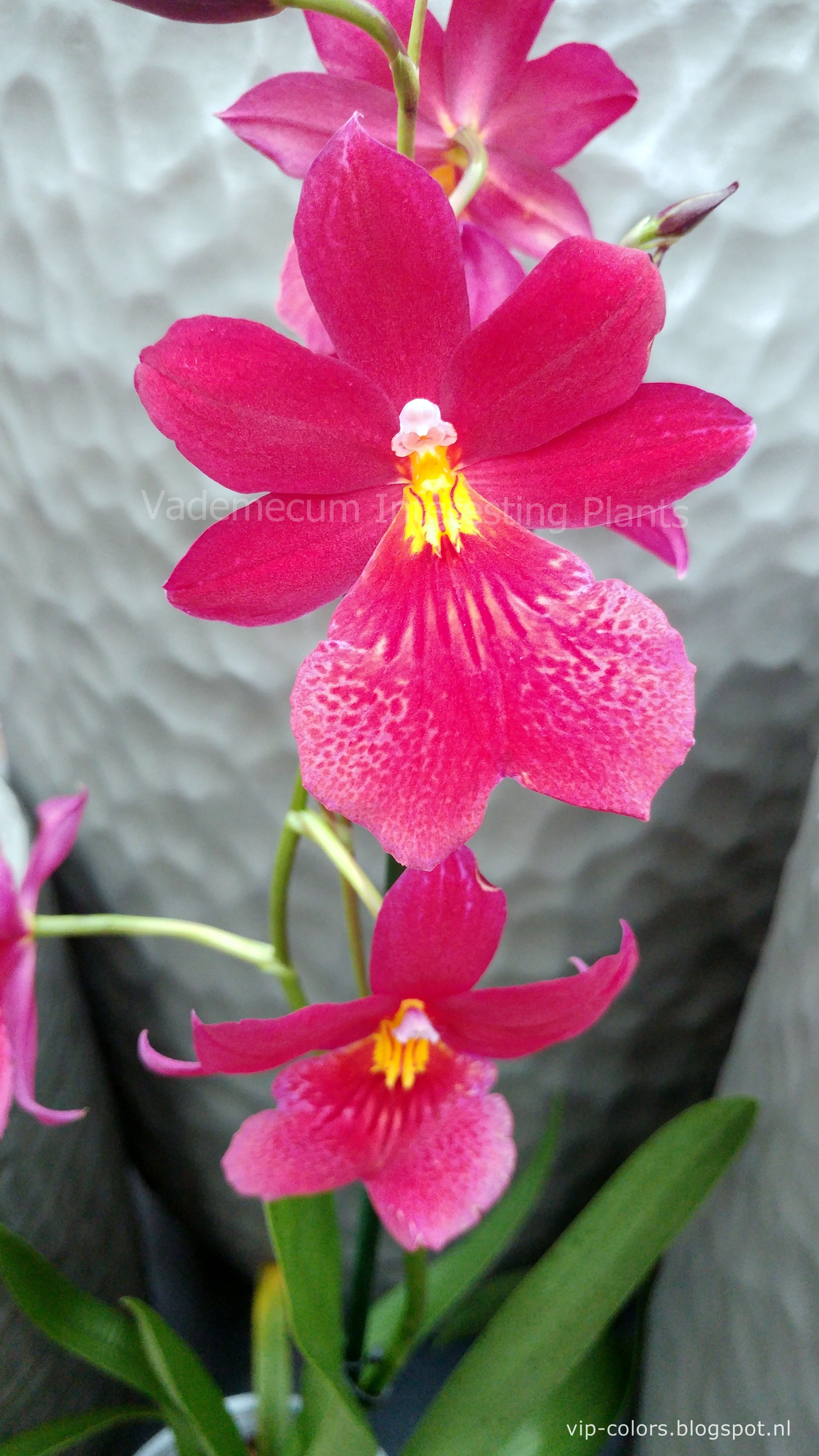 Pin Em Orchidaceae Orchid Family