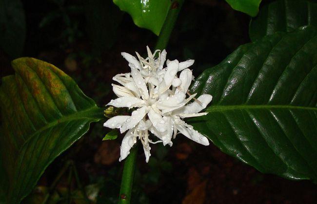 fleur de caféier (Coffea)