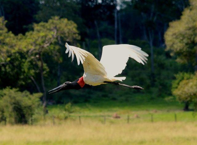 Foto tuiuiú (Jabiru mycteria) por Leonardo Casadei | Wiki Aves - A Enciclopédia das Aves do Brasil
