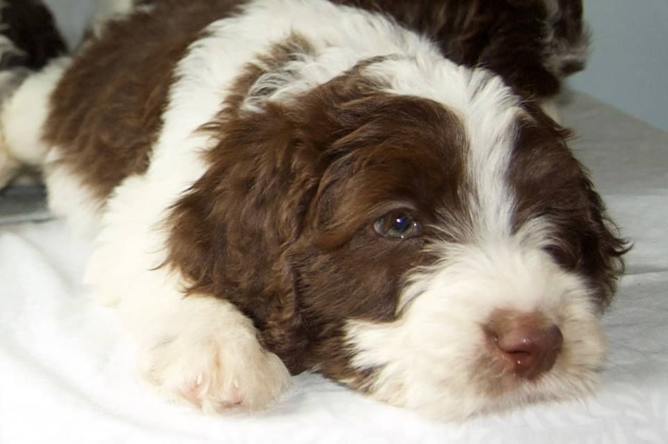 Loveable Springerdoodle Pups For Sale Http Springerdoodles Com Springerdoodle Springer Puppies Puppies For Sale