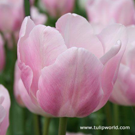 Large image tropical lady tulip tulips pinterest plants large image tropical lady tulip mightylinksfo