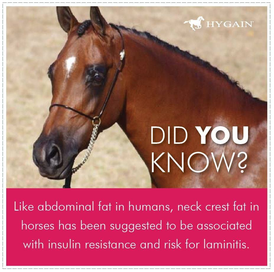 Obesity is associated with insulin resistance in horses and