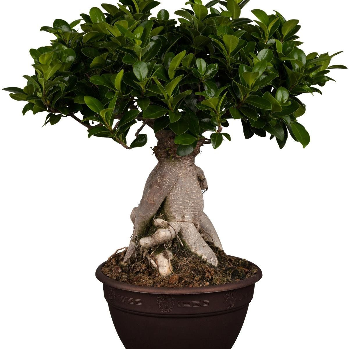 lorbeer feige ficus mic ginseng 8cm topf 1 pflanze garten interior plants. Black Bedroom Furniture Sets. Home Design Ideas