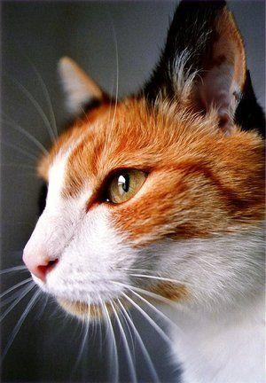 Cream Cat With Yellow Eyes Ace Orange White And Black She Cat