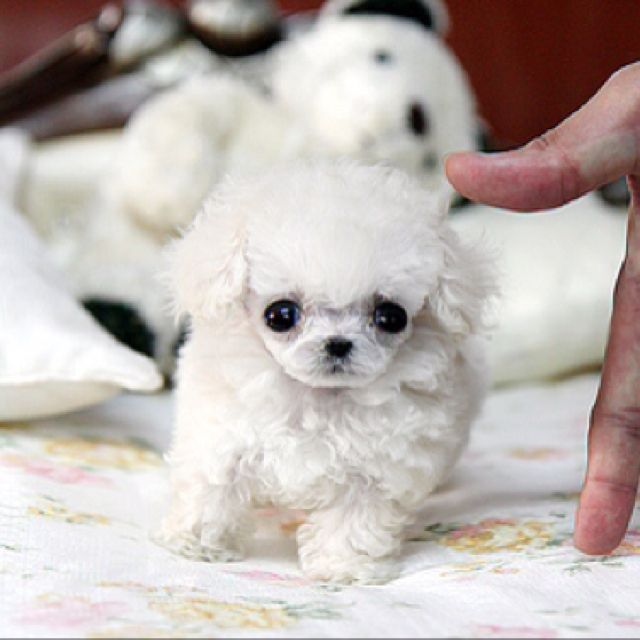 Mr Balfours Poodle by Jenkins