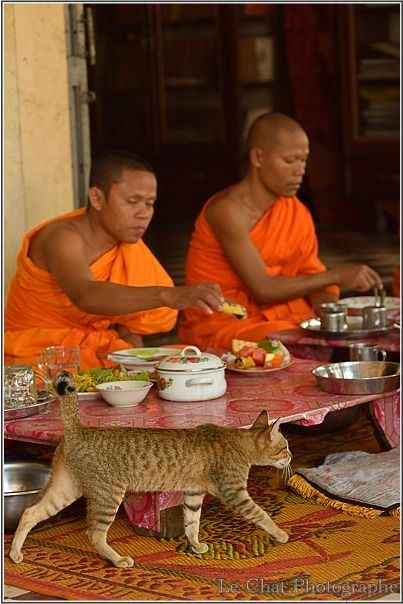 chat marchant devant des moines Cambodgiens