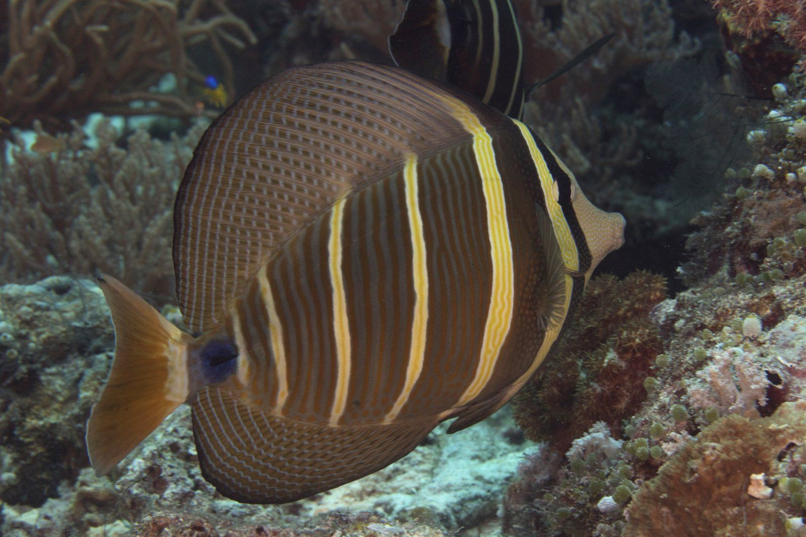 Pacific Sailfin Tang Zebrasoma Velifer 1 Pc Left Tang Pacific Things To Sell