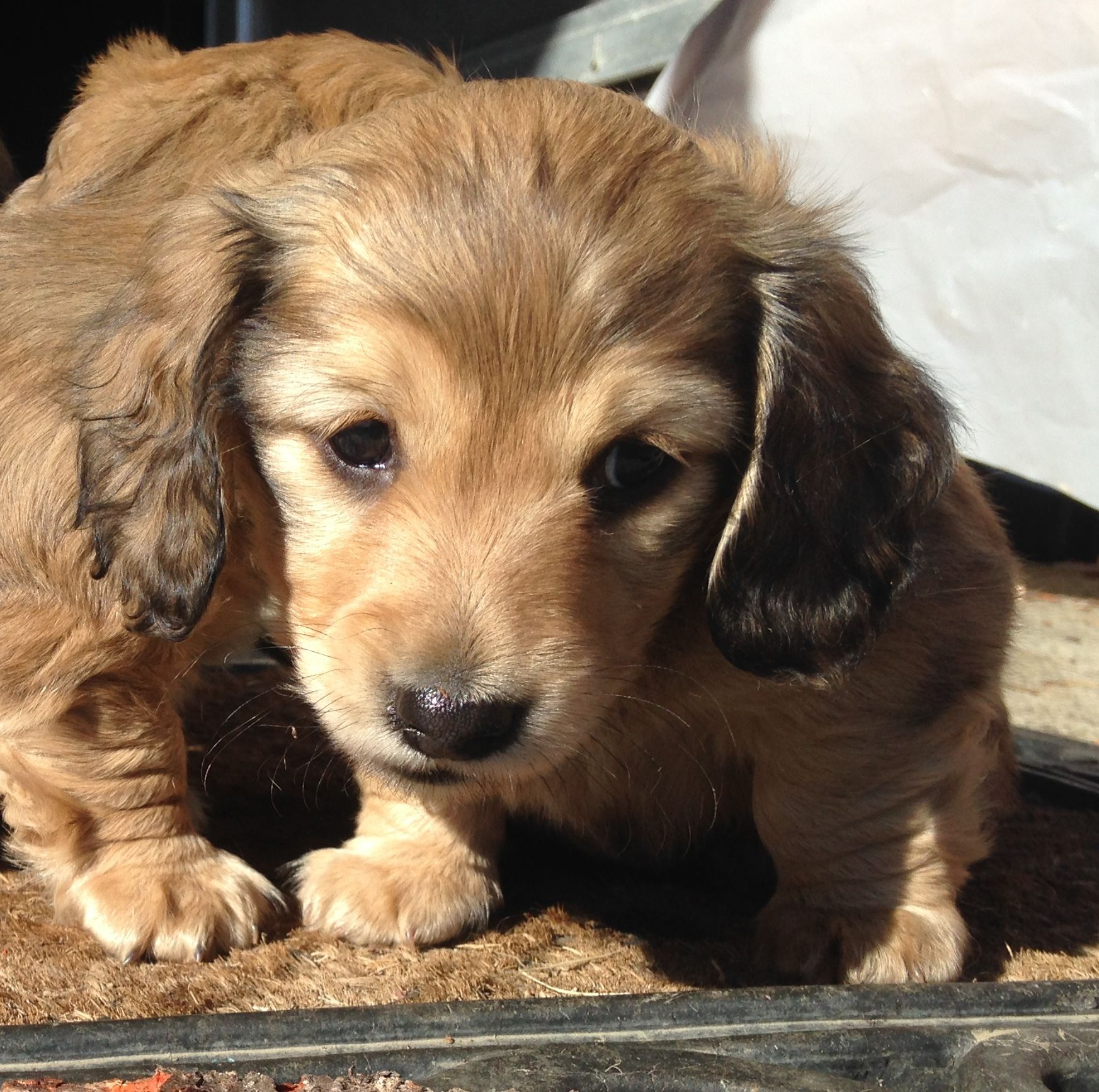 Cooper longhaired shaded cream miniature dachshund dachshund