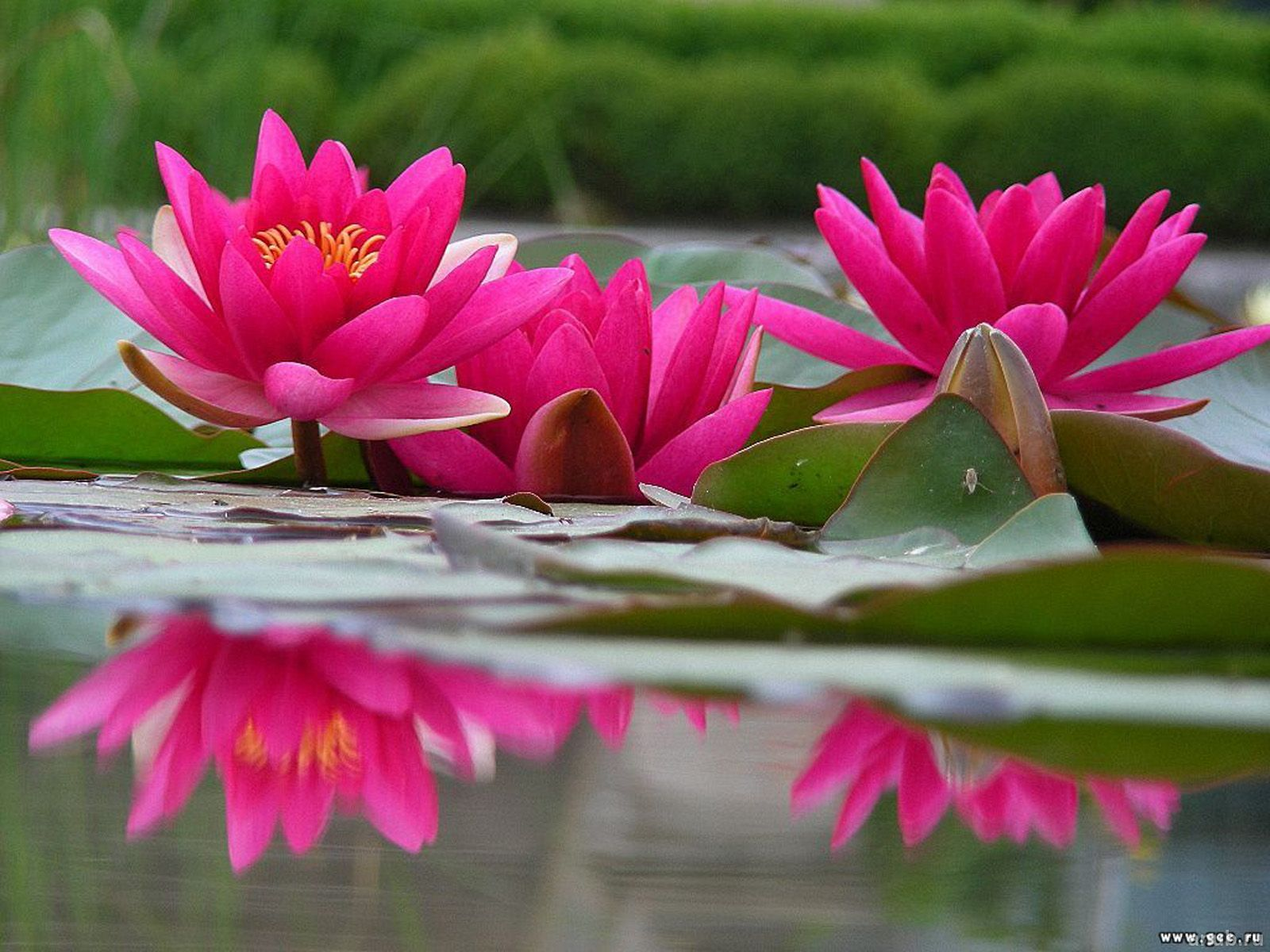 Water Lily Wallpaper High Quality Resolution Lily Wallpaper Hot