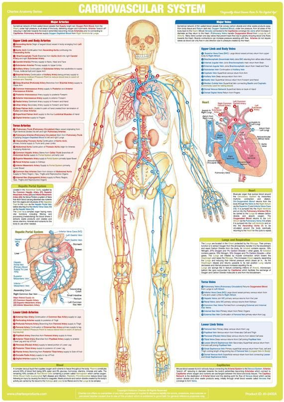 Cardiovascular Chart Human Anatomy Poster   Etsy in 2021 ...