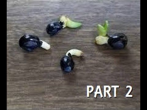 Our method to how we grow all seed, Burpee seeds included. Faster Germination Watch our video on How to Grow Seeds the FAST and EASY Way Part 2. PART ONE ► h...