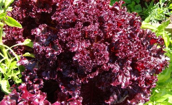 Lettuce Varieties - There are many and we will go into these later.