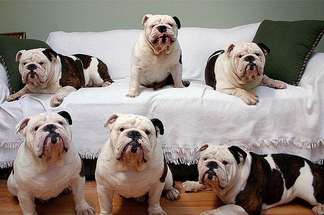 Cow Print Bullies 3 Bulldog Bully Dog Bulldog Puppies