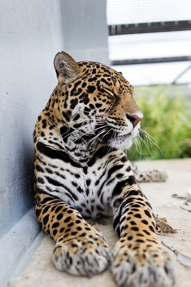 Porch leopard