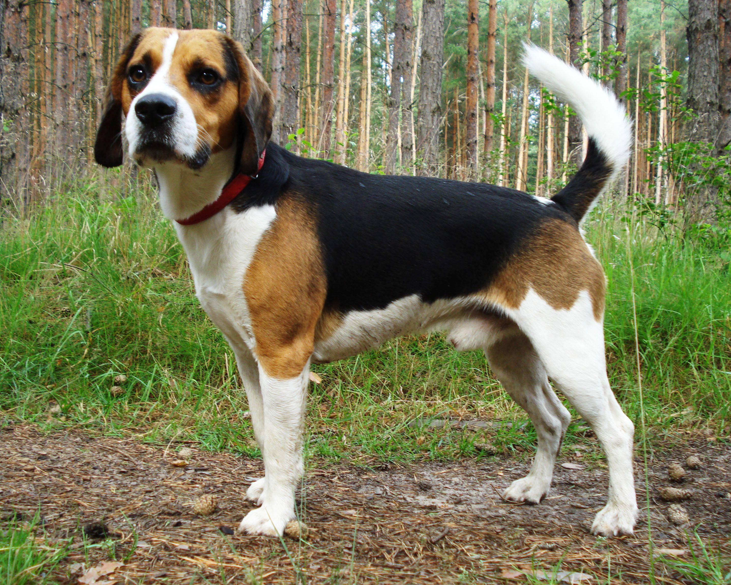 The Beagle Harrier Is A Scenthound It Is A Breed Of Dog