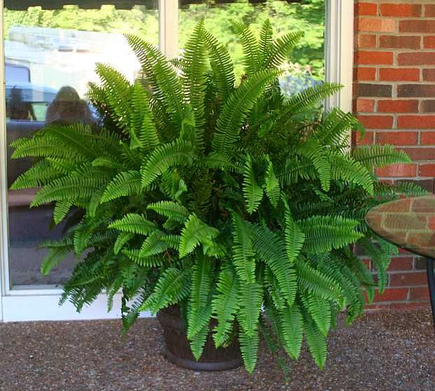 potted fern | Potted Ferns