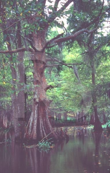 Paintings Of Cypress Swamps New Orleans South