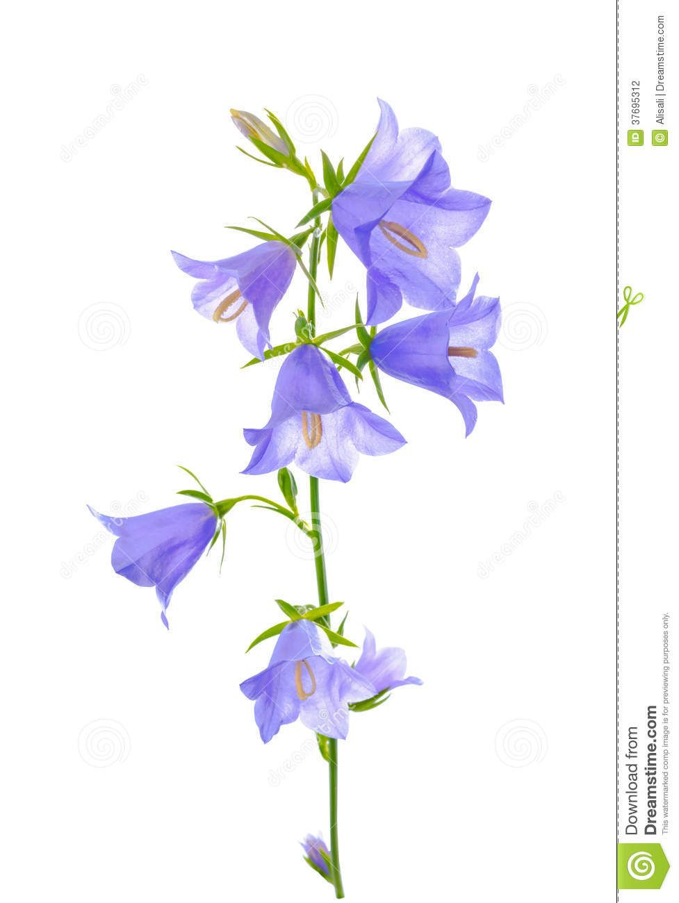 Bluebell Flower Is Isolated On A White Background Stock Images