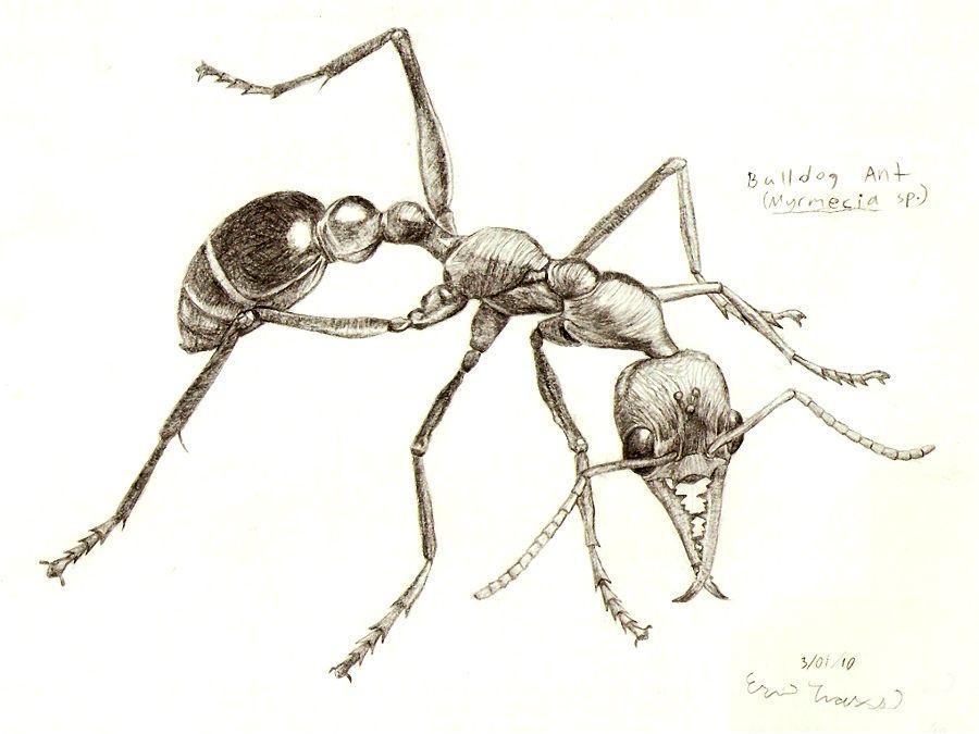 Bulldog Ant By Scutigera Insect Art Ants Hipster Art