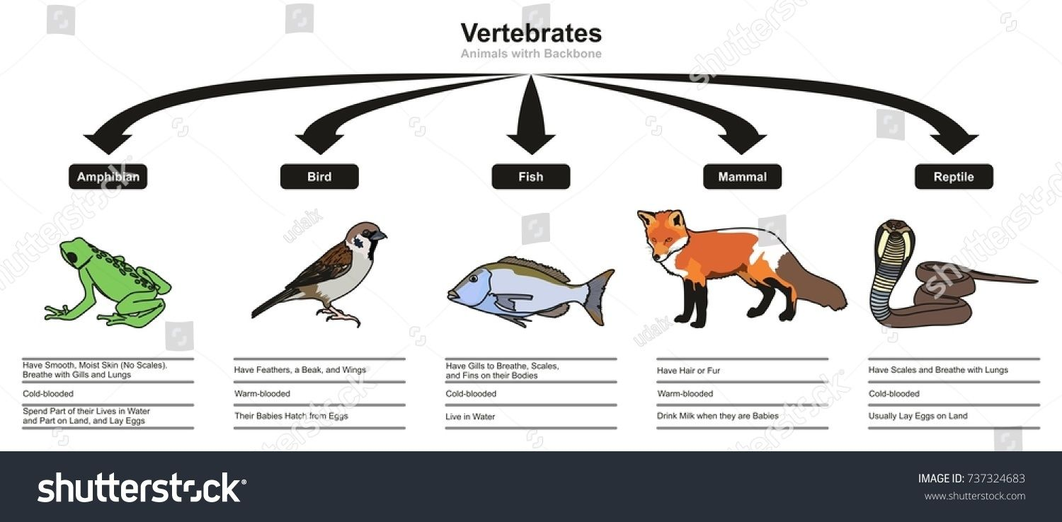 Vertebrates Animals Classifications and Characteristics