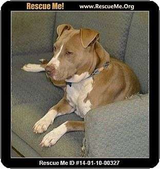 Atlanta Ga American Staffordshire Terrier Pointer Mix Meet